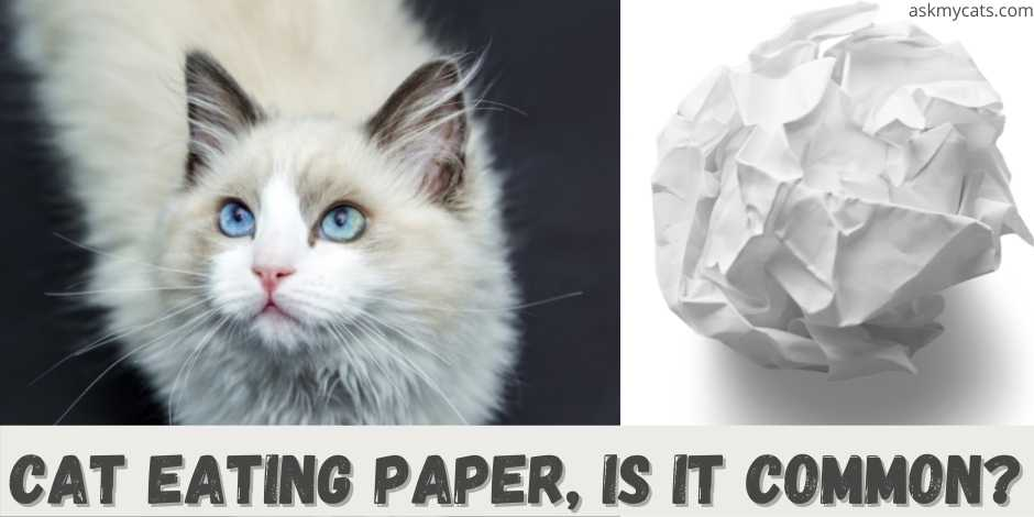 cat eating paper, is it common?