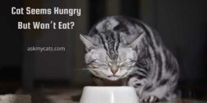 Cat Seems Hungry But Won't Eat? Know About These Incredible Reasons!