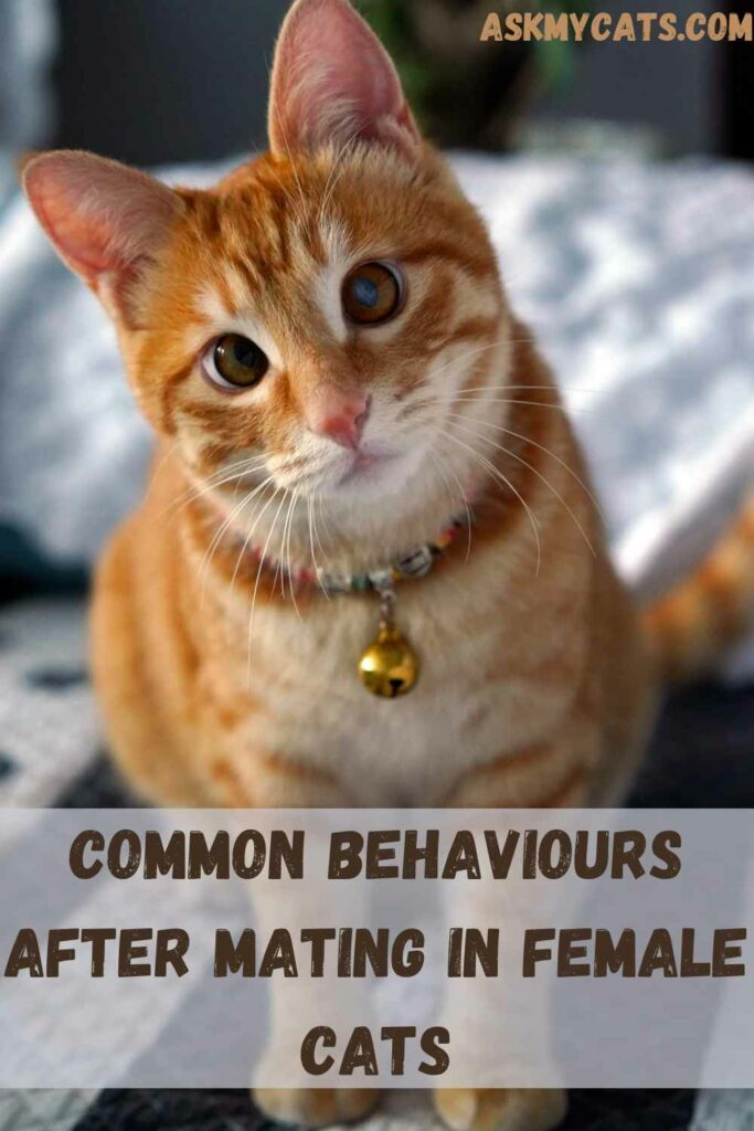 Common Behaviours After Mating In Female Cats
