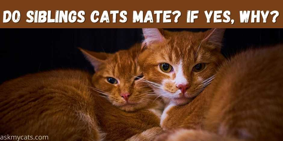 Do Siblings Cats Mate If Yes Why