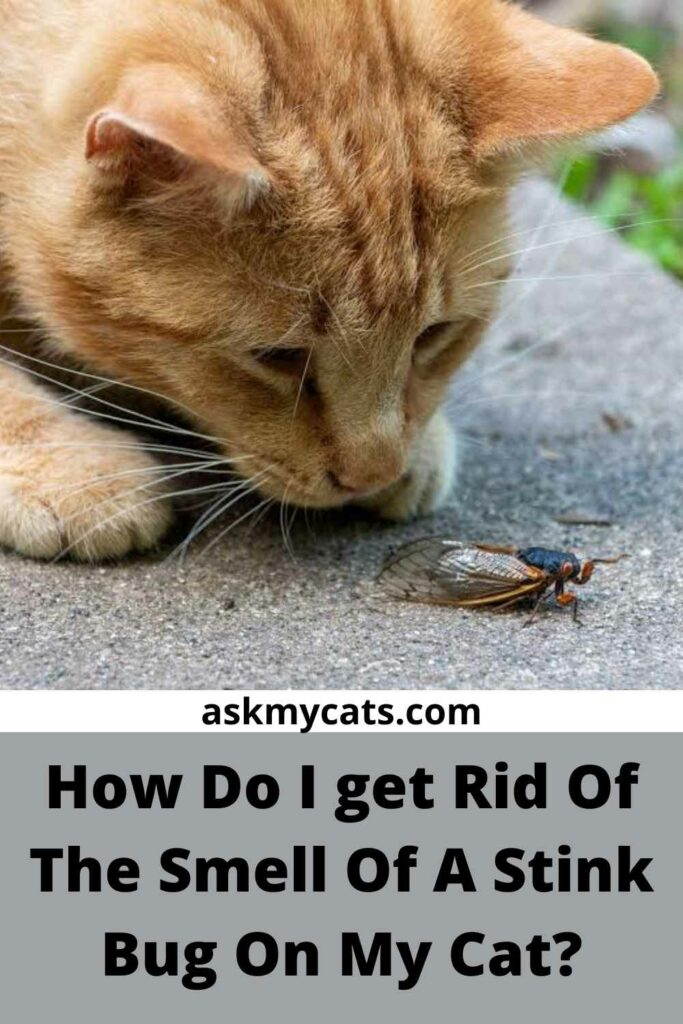 How Do I Get Rid Of The Smell Of A Stink Bug On My Cat?