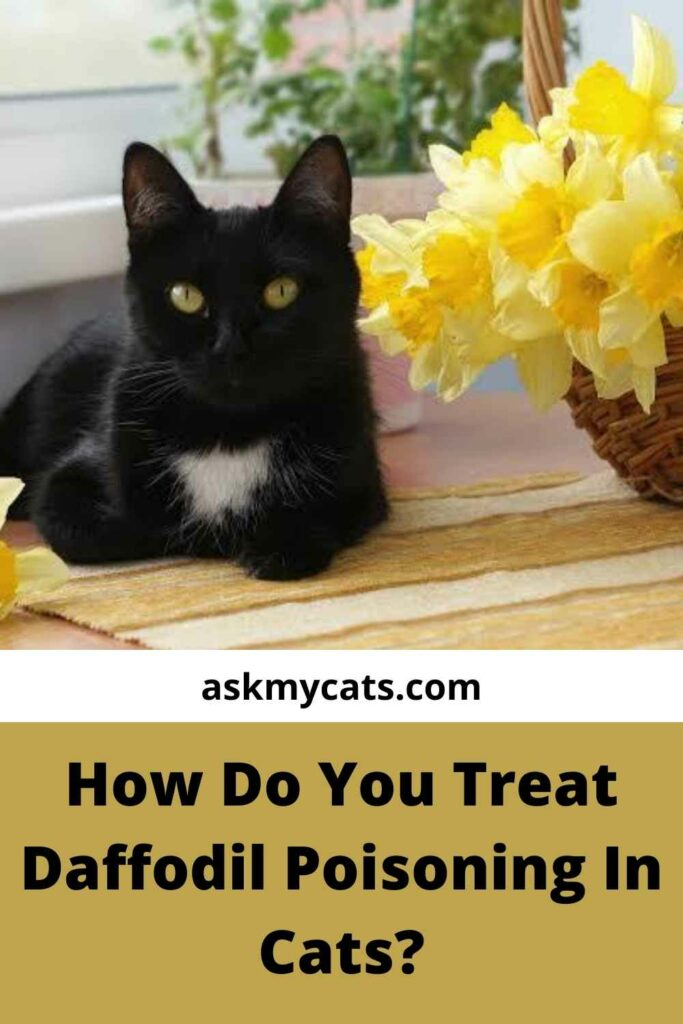 How Do You Treat Daffodil Poisoning In Cats?