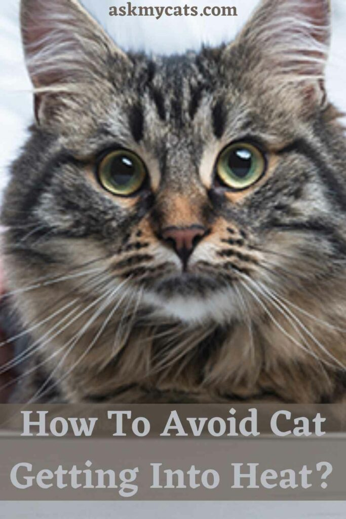 How To Avoid Cat Getting Into Heat?