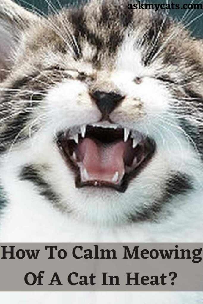 How To Calm Meowing Of A Cat In Heat?