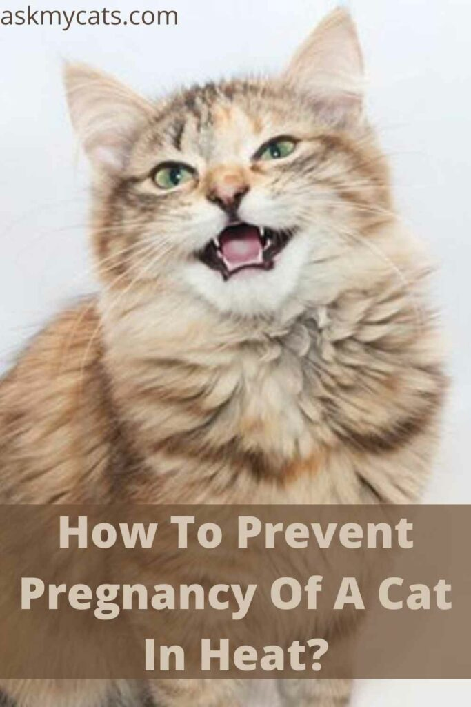 How To Prevent Pregnancy Of A Cat In Heat?