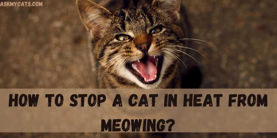 How To Stop A Cat In Heat From Meowing?