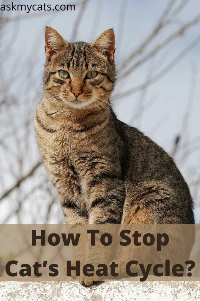 How To Stop Cat's Heat Cycle