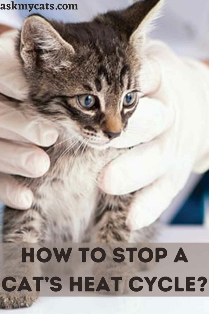 How To Stop a Cat's Heat Cycle?