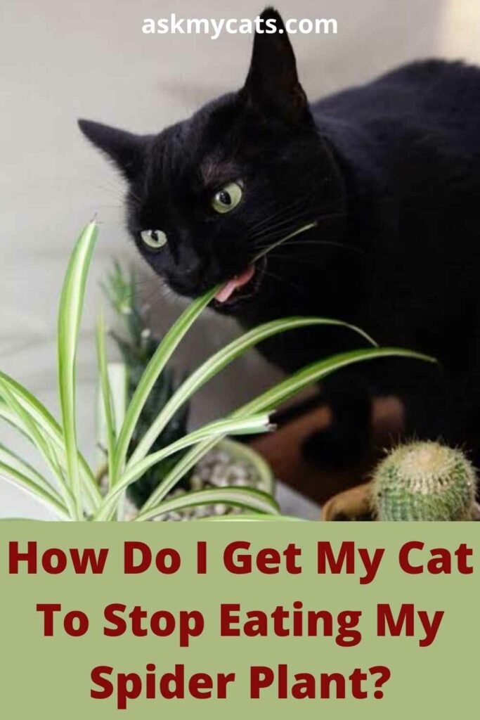 How Do I Get My Cat To Stop Eating My Spider Plant