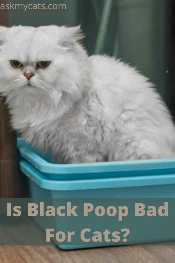 Is Black Poop Bad For Cats?