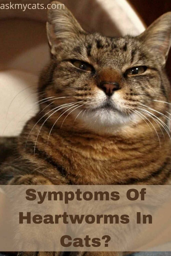 Symptoms Of Heartworms In Cats?