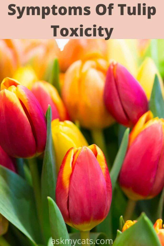 symptoms of tulip toxicity