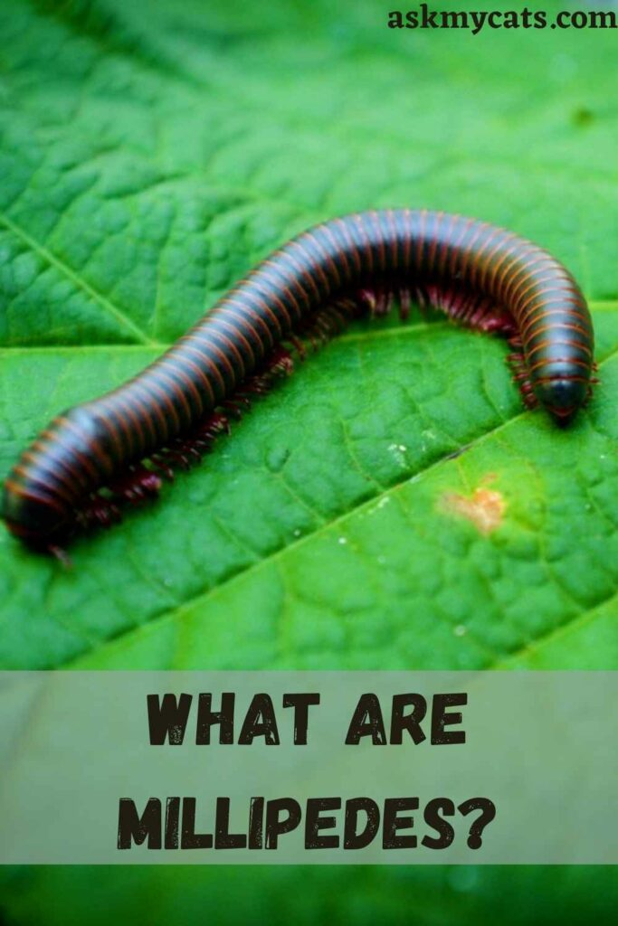 What Are Millipedes?