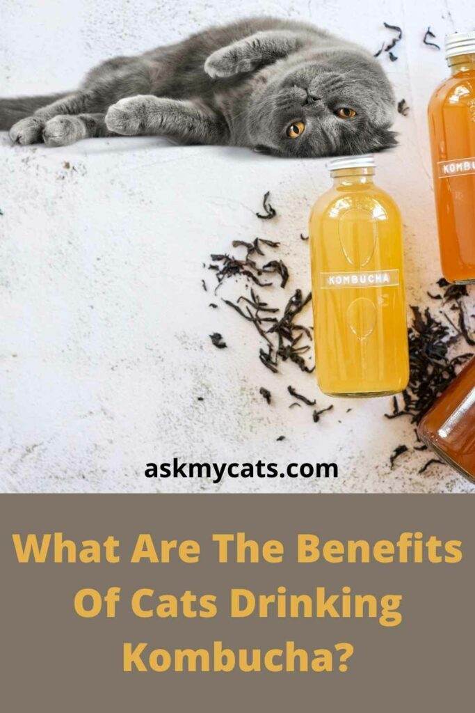 What Are The Benefits Of Cats Drinking Kombucha?