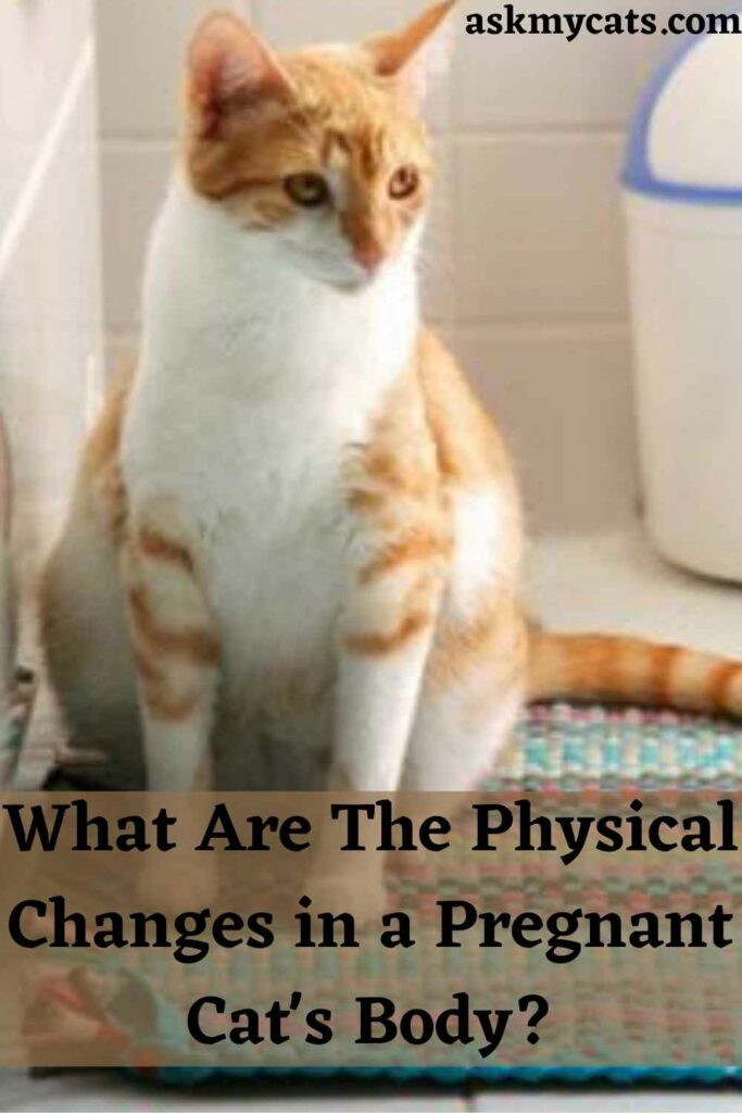 What Are The Physical Changes in a Pregnant Cat's Body?