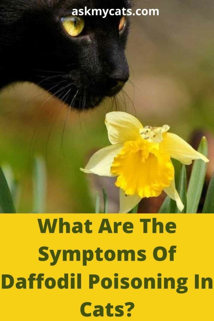 What Are The Symptoms Of Daffodil Poisoning In Cats?