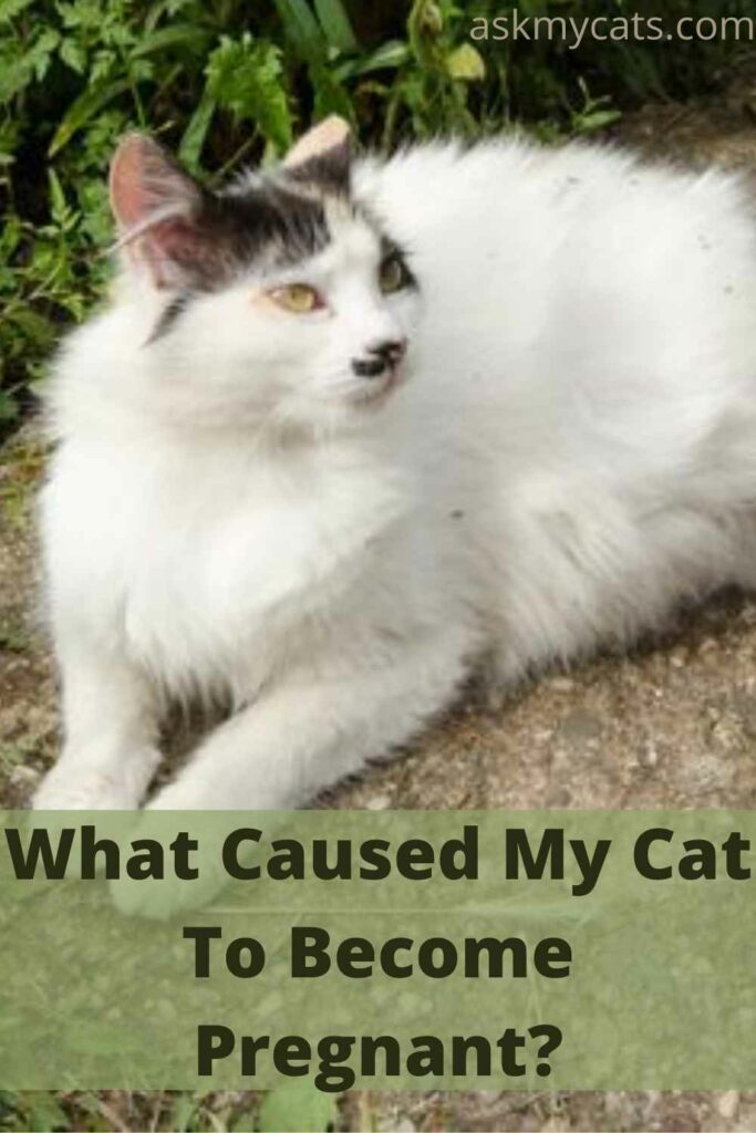 What Caused My Cat To Become Pregnant?