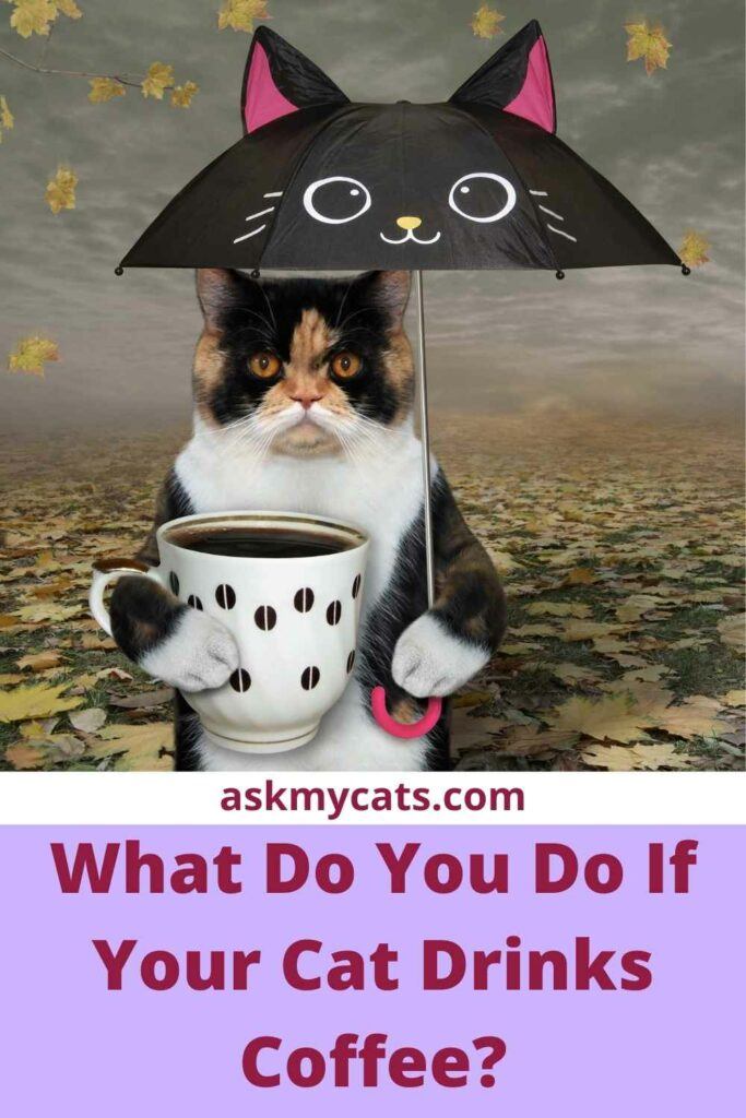 What Do You Do If Your Cat Drinks Coffee?
