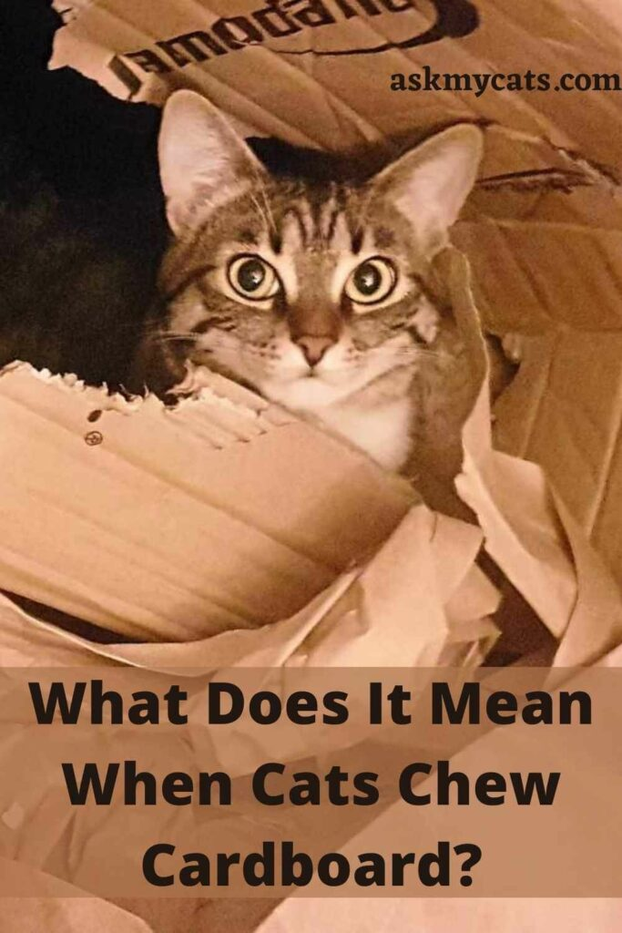 What Does It Mean When Cats Chew Cardboard?