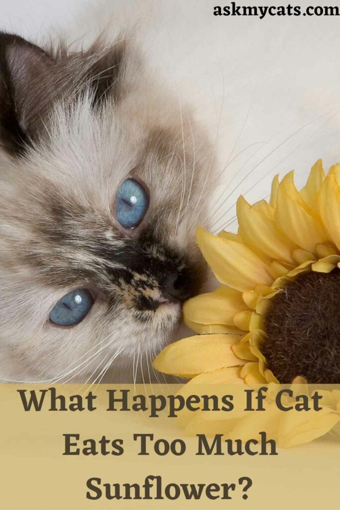 What Happens If Cat Eats Too Much Sunflower?