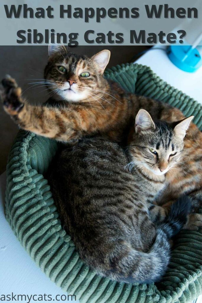 what happens when sibling cats mate with each other?