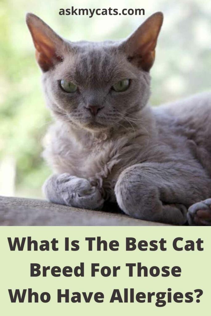 What Is The Best Cat Breed For Those Who Have Allergies?