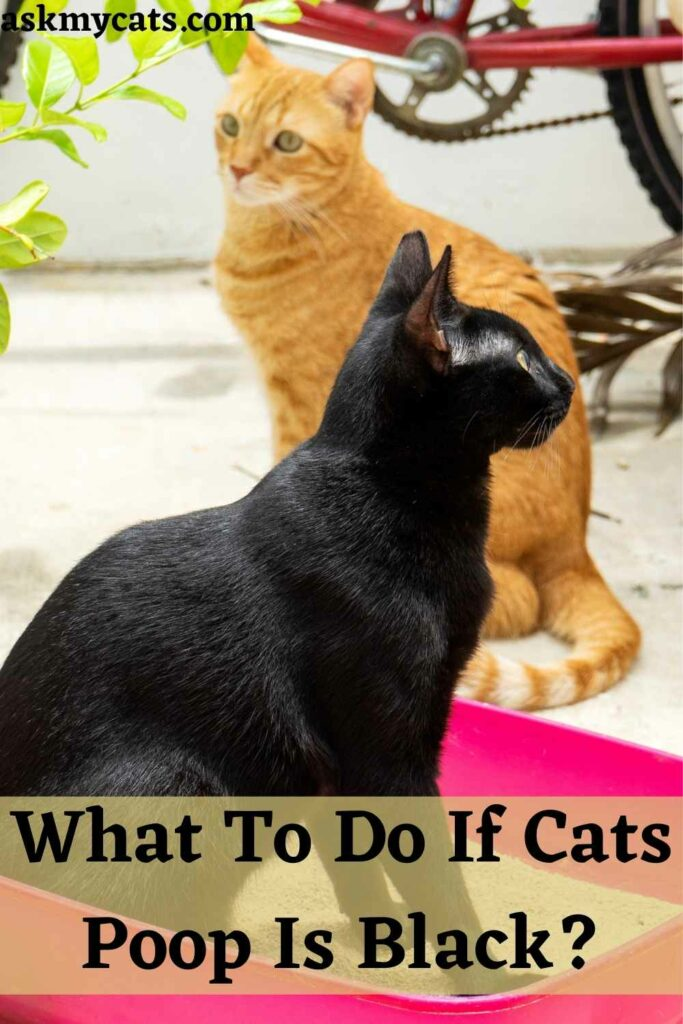 What To Do If Cats Poop Is Black