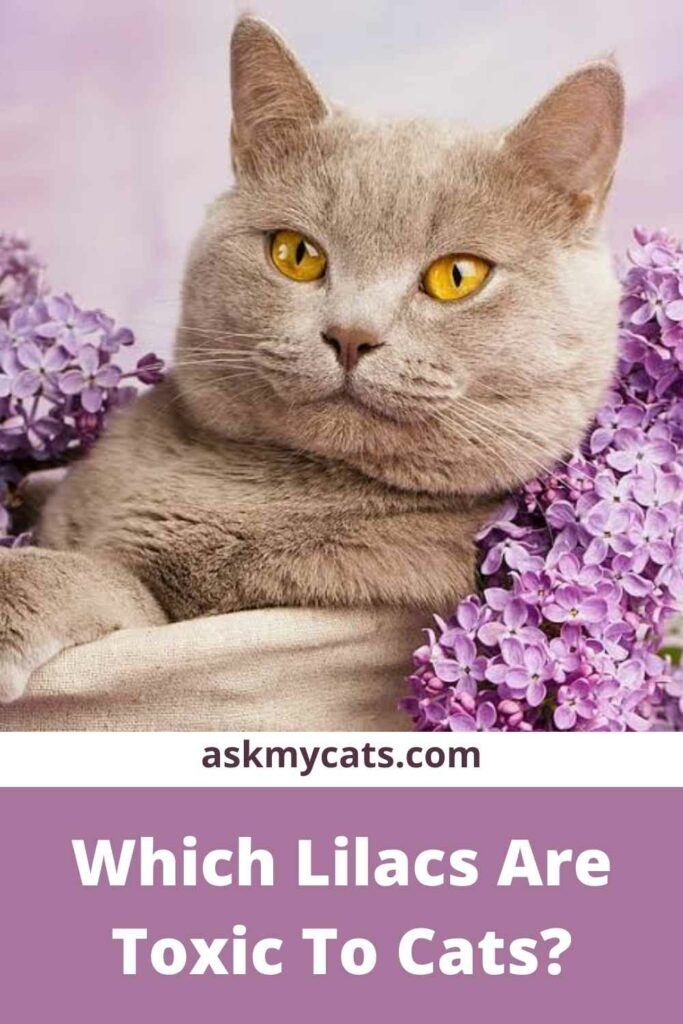 Which Lilacs Are Toxic To Cats?