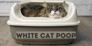 White Cat Poop: Why Is My Cat's Poop White?