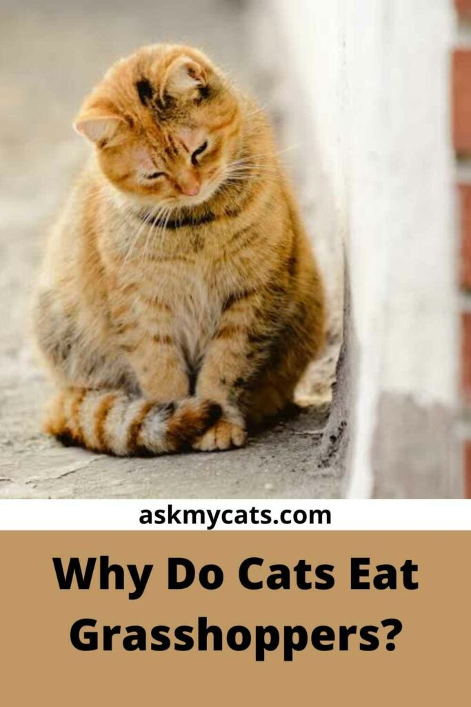 Why Do Cats Eat Grasshoppers?