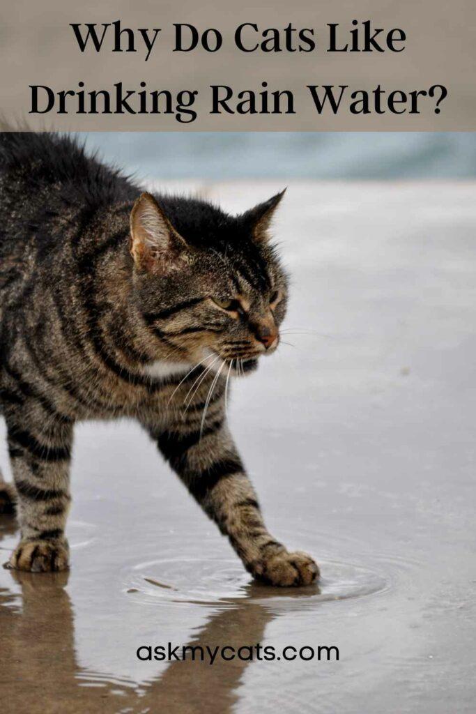 Why Do Cats Like Drinking Rain Water?
