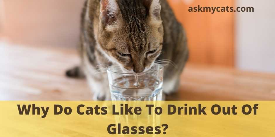 Why Do Cats Like To Drink Out Of Glasses?