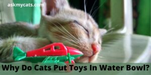Why Do Cats Put Toys In Water Bowl?