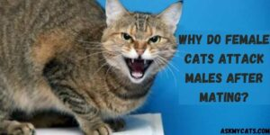 Why Do Female Cats Attack Males After Mating?