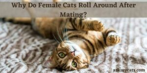 Why Do Female Cats Roll Around After Mating?