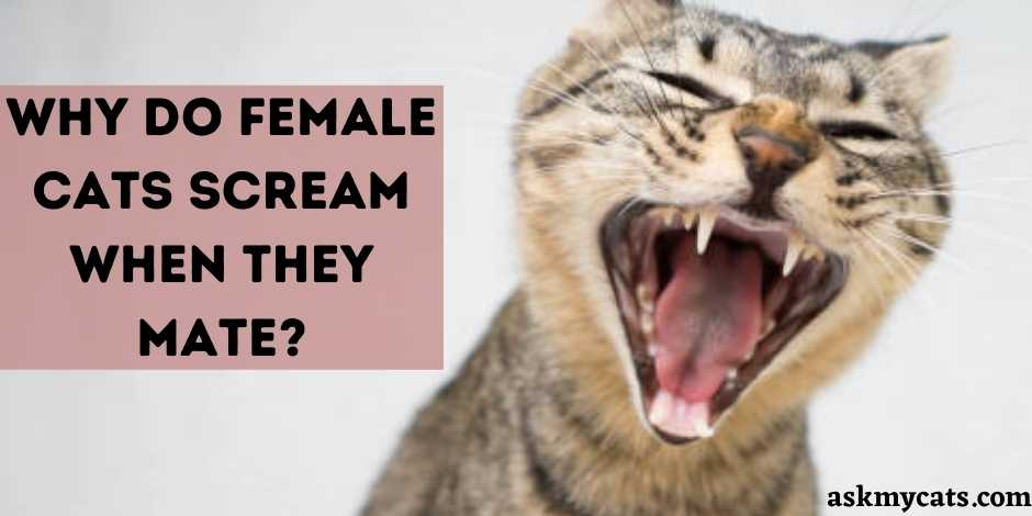 Why Do Female Cats Scream When They Mate?