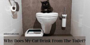 Why Does My Cat Drink From The Toilet? Is He Becoming Nasty?