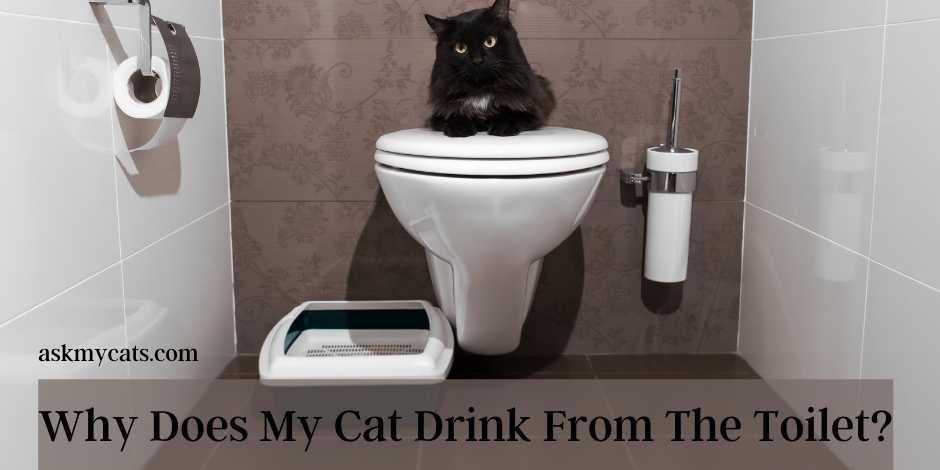 Why Does My Cat Drink From The Toilet