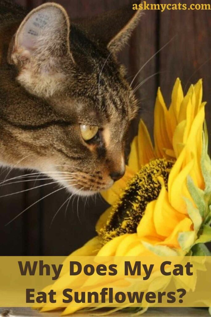 Why Does My Cat Eat Sunflowers?