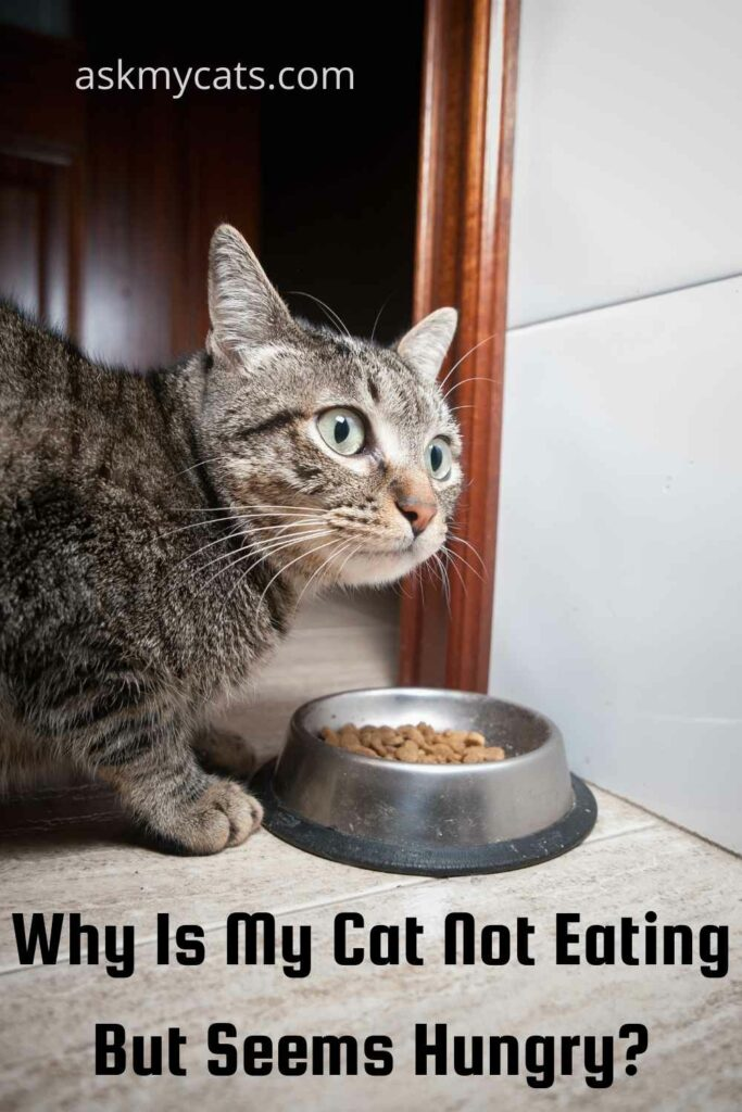 Why Is My Cat Not Eating But Seems Hungry?
