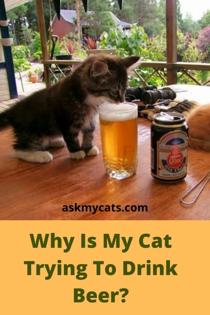 Why Is My Cat Trying To Drink Beer?