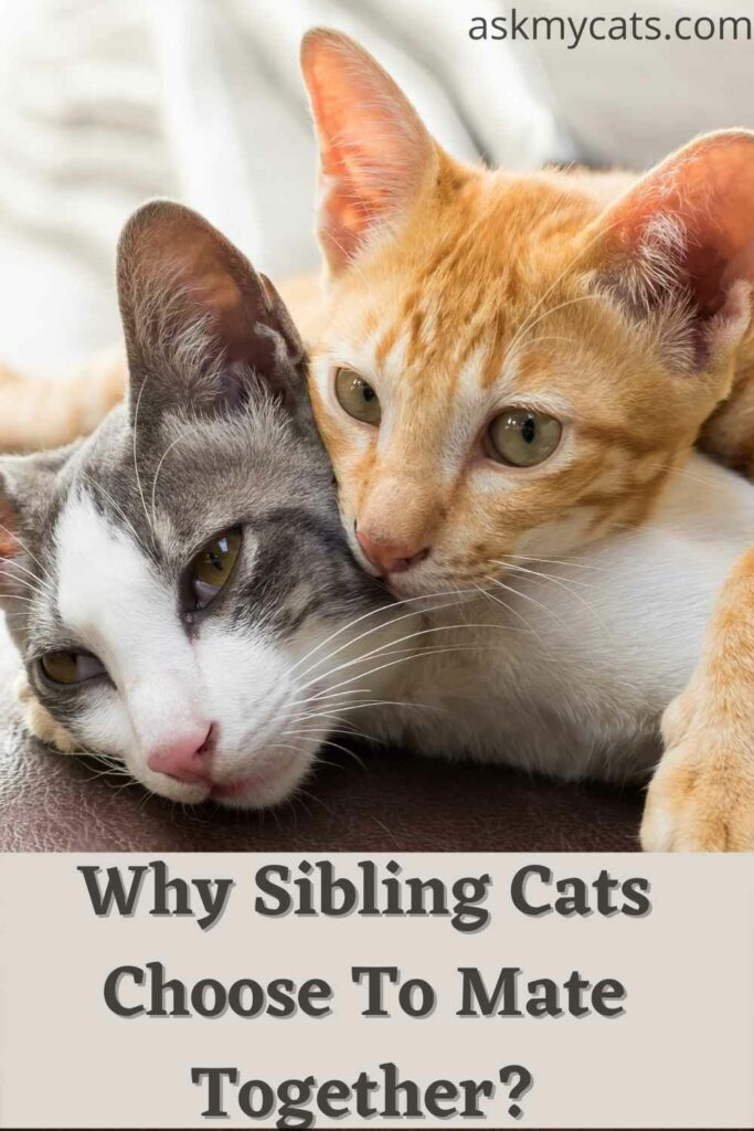 why sibling cats choose to mate together.