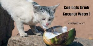 Can Cats Drink Coconut Water? Is It Safe For Them?