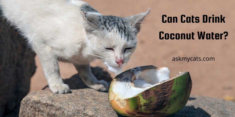 Can Cats Drink Coconut Water