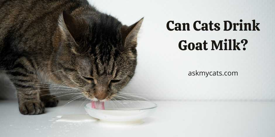 Can Cats Drink Goat Milk
