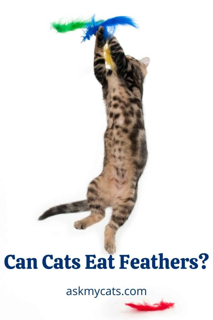 Can Cats Eat Feathers?