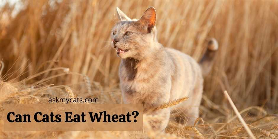 Can Cats Eat Wheat?