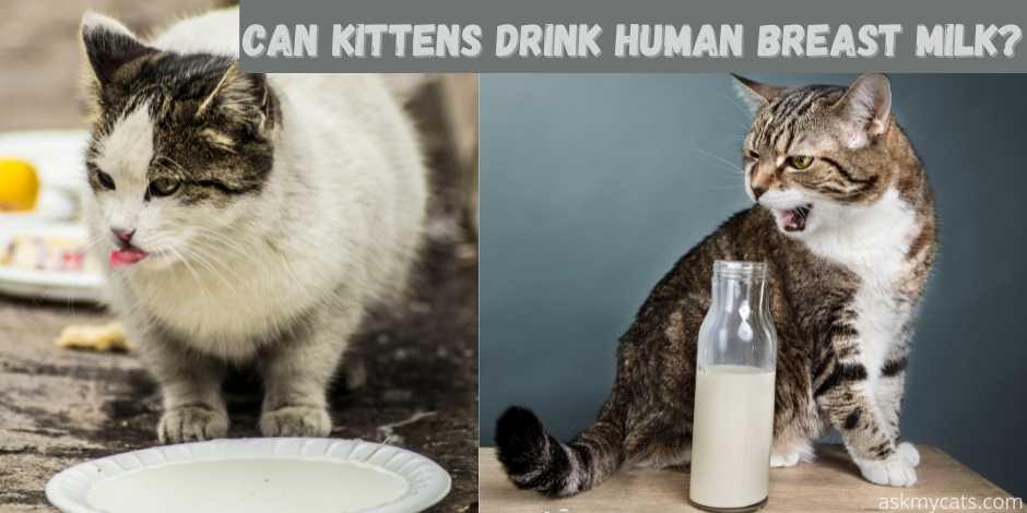 Can Kittens Drink Human Breast Milk