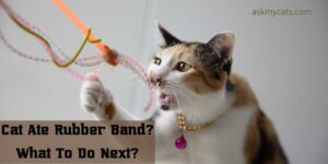 Cat Ate Rubber Band? What To Do Next?