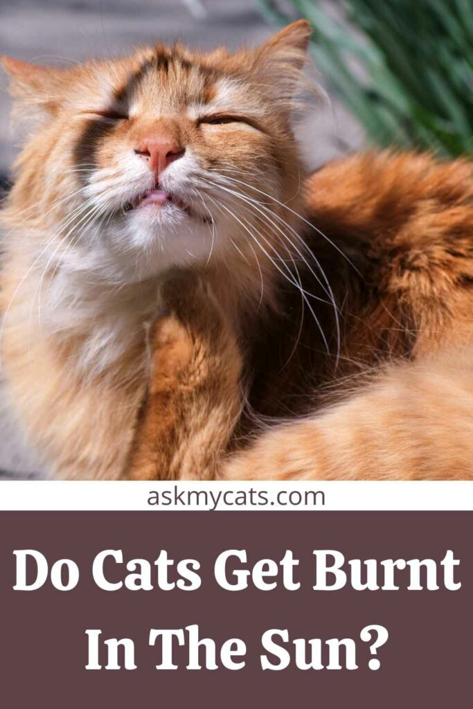 Do Cats Get Burnt In The Sun?